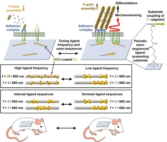[고려대-사진2]생체 內 나노코딩 제어 시스템의 모식도